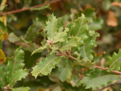 IDF.-Quercus faginea