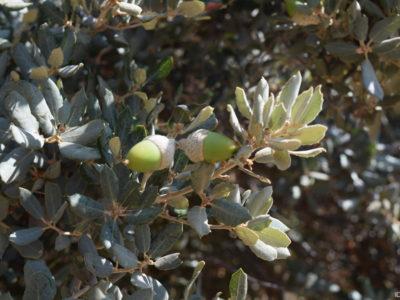 IDF.-Quercus ilex