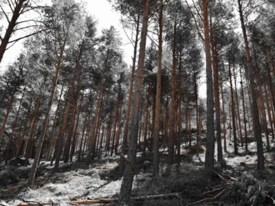 IDForestal Pino silvestre