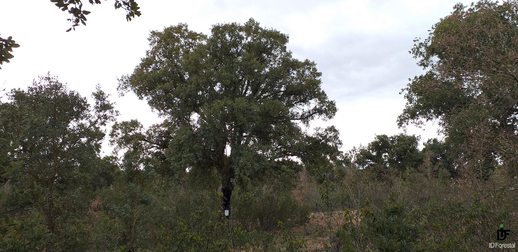 IDForestal Estudio Coraebus undatus Valdelosa (Salamanca)