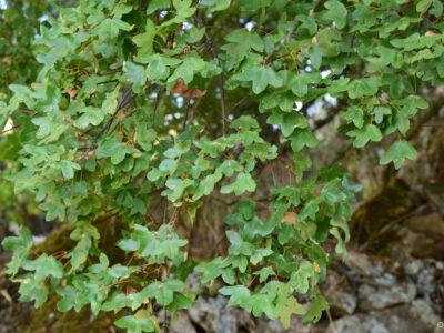 IDForestal Acer monspessulanum